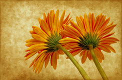 Gerbera on grunge background Stock Images