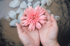 Gerbera in hands Royalty Free Stock Photo