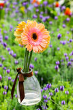 Gerbera in hanging glass vase. In garden Stock Images