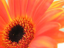 Gerbera heart. Close up shot of an orange gerbera's heart Stock Image