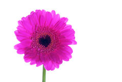 Gerbera with a Heart Royalty Free Stock Photo