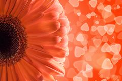 Gerbera on hearts background Stock Photo