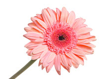 Gerbera isolated Stock Photography