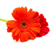 Gerbera isolated on white Royalty Free Stock Photos