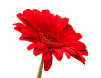 Gerbera isolated on white Stock Photo