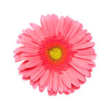 Gerbera isolated on white Royalty Free Stock Photography