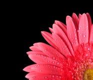 gerbera isolerad red Royaltyfria Bilder