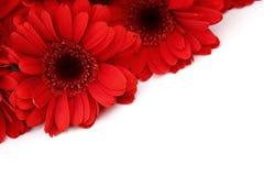 Gerbera ist eine Blume, die durch viele Korallen gekennzeichnet wird und durch Floristen in den Blumensträußen als Schnittblume h lizenzfreies stockbild
