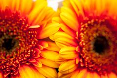 Gerbera jamesonii - beautiful flower Stock Images