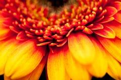 Gerbera jamesonii - beautiful flower Stock Photos