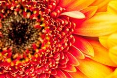 Gerbera jamesonii - beautiful flower Royalty Free Stock Photography