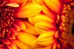 Gerbera jamesonii - beautiful flower Royalty Free Stock Images