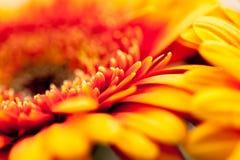 Gerbera jamesonii - beautiful flower Royalty Free Stock Image