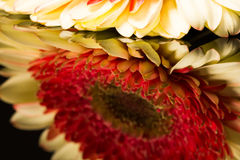 Gerbera jamesonii - beautiful flower with macro details Royalty Free Stock Photo