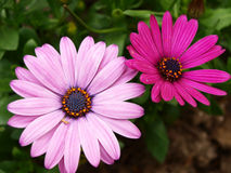Gerbera jamesonii Bolus Royalty Free Stock Photos