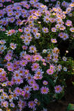 Gerbera jamesonii Bolus Stock Photo