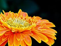 Gerbera jamesonii closeup royalty free stock images