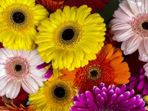 Gerbera jamesonii daisy Stock Photos