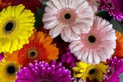 Gerbera jamesonii daisy Stock Photography