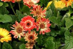 Gerbera jamesonii 'Flori Line Midi Bicolor' Royalty Free Stock Photos