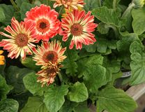 Gerbera jamesonii 'Flori Line Midi Bicolor'. Perennial ornamental herb with basal rosette of leaves and heads on long naked stalks, each head with two-colored Royalty Free Stock Photos