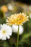 Gerbera jamesonii in flower Stock Image