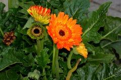Gerbera jamesonii, Gerbera Daisy, Transvaal daisy Royalty Free Stock Image