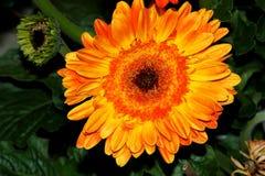 Gerbera jamesonii, Gerbera Daisy, Transvaal daisy Royalty Free Stock Images