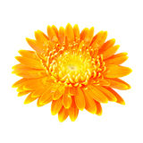 Gerbera jamesonii isolated on white background. stock photography