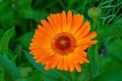 Gerbera Jamesonii in Orange. Orange gerbera growing in the garden Stock Images