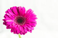 Gerbera jamesonii single magenta flower Stock Photos