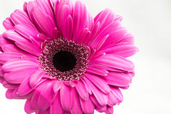Gerbera jamesonii single pink flower Stock Photos