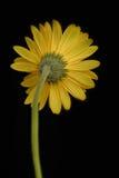 Gerbera jaune Images libres de droits