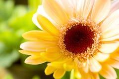 Gerbera jaune Images stock