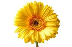 Gerbera jaune Image libre de droits