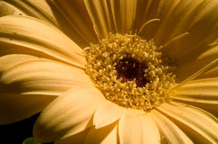 Gerbera jaune photo stock