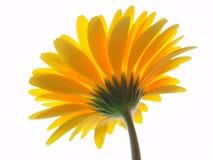 Gerbera jaune Photographie stock