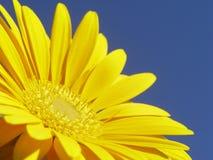 Gerbera jaune Photographie stock libre de droits