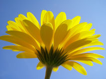 Gerbera jaune Photos libres de droits