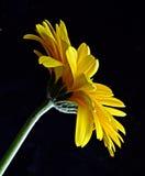 gerbera kolor żółty Obrazy Stock