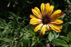 Gerbera kolor żółty zdjęcie stock