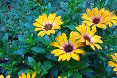 Gerbera kolor żółty fotografia stock