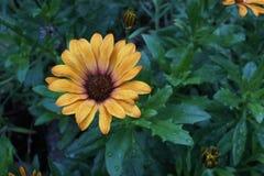 Gerbera kolor żółty zdjęcia royalty free