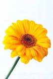 gerbera kolor żółty Obrazy Royalty Free