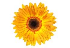 gerbera kolor żółty Obraz Royalty Free