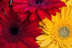 Gerbera kwiatów zamknięty up Zdjęcia Royalty Free