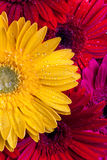 Gerbera kwiatów zamknięty up Fotografia Stock