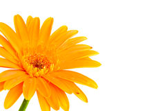 Gerbera kwiat Zdjęcia Stock