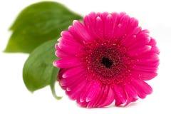 Gerbera kwiat Obraz Stock
