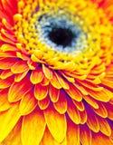 Gerbera kwiat Fotografia Royalty Free